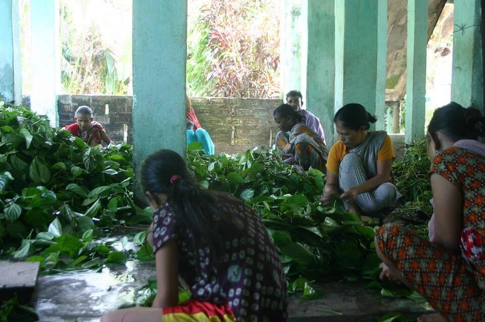 pan harvest- Golpata-Travel Bangladesh
